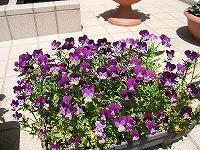 紫のお花のプランター